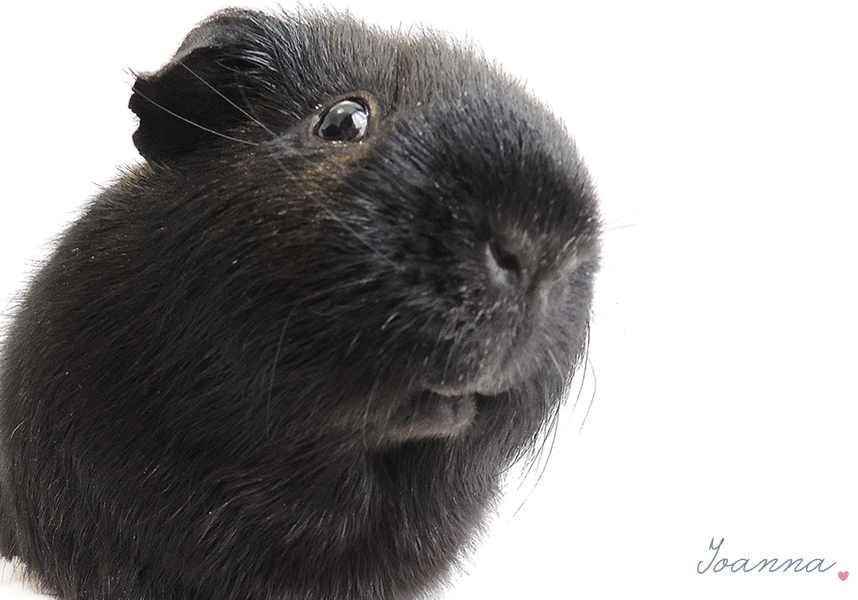 Photo Diary: Guinea Pigs