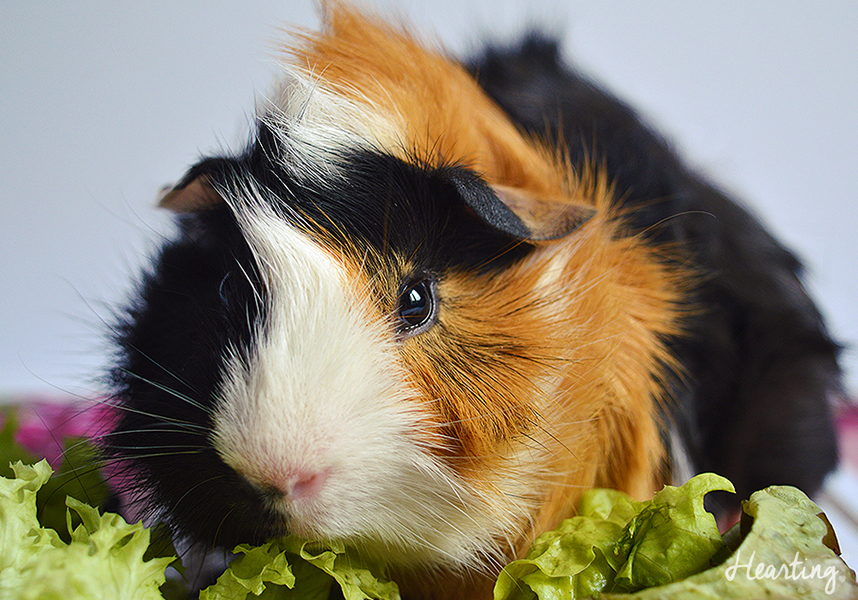 Introducing the new additions to our family, guinea pigs Smokey and Whisky