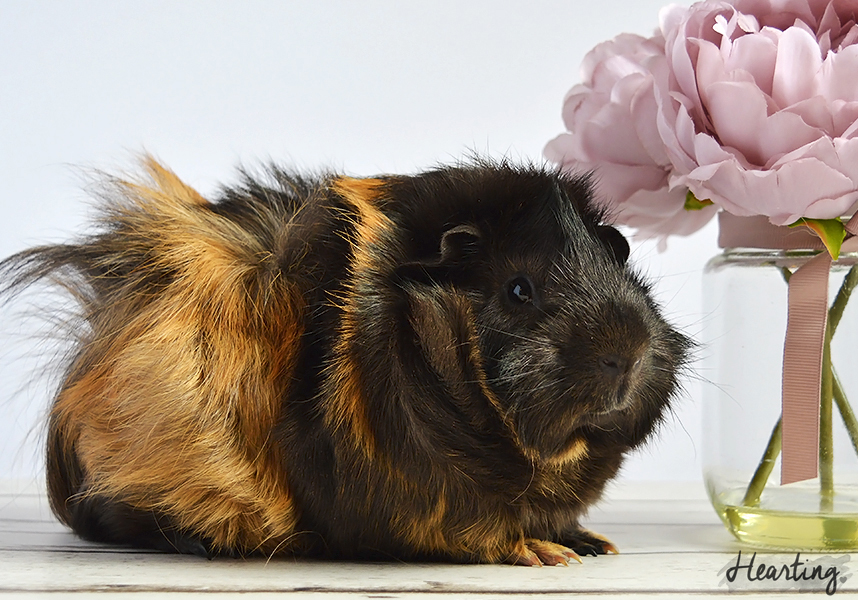 Photo Diary | Guinea Pigs #3 featuring Smokey