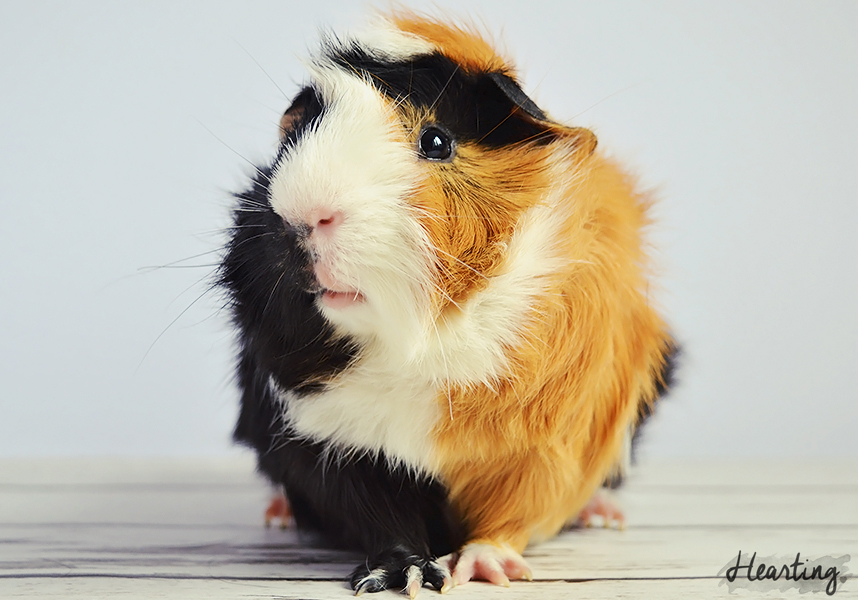 Photo Diary | Guinea Pigs #3 featuring Whisky