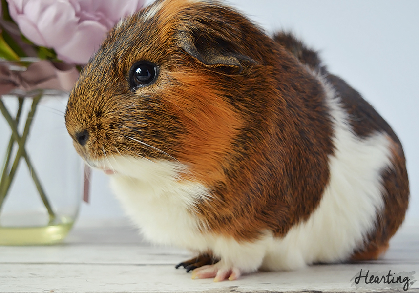 Photo Diary | Guinea Pigs #3 featuring Rusty