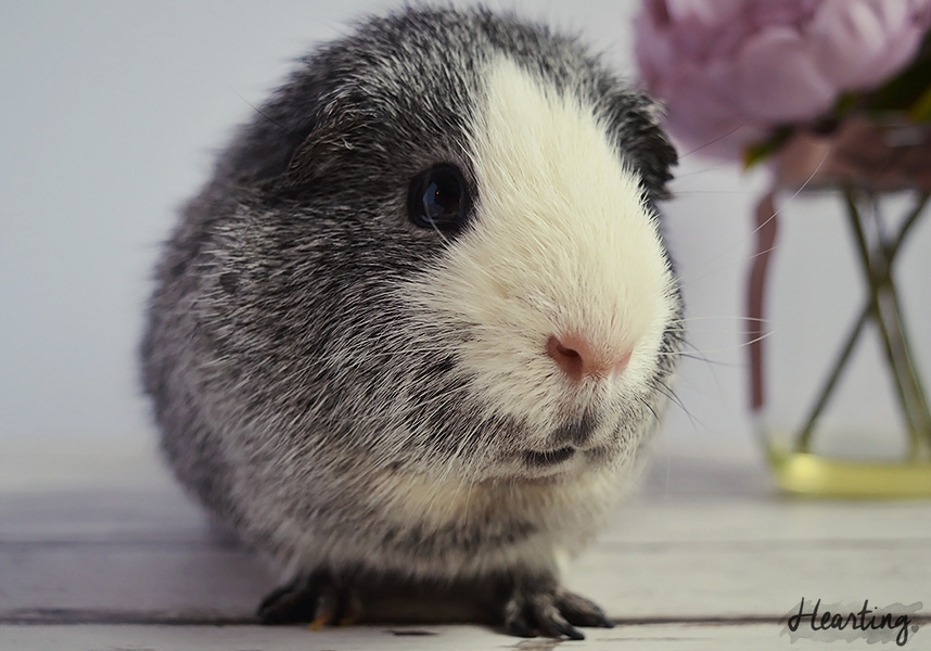 Photo Diary   Guinea Pigs #3 featuring Dusty