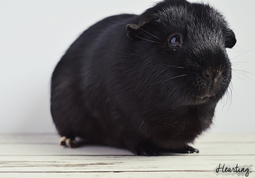 Photo Diary | Guinea Pigs #3 featuring Sooty