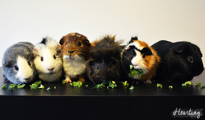 Photo Diary | Guinea Pigs #3 featuring all 6 of my piggies (from left to right) Dusty, Tufty, Rusty, Smokey, Whisky, Sooty