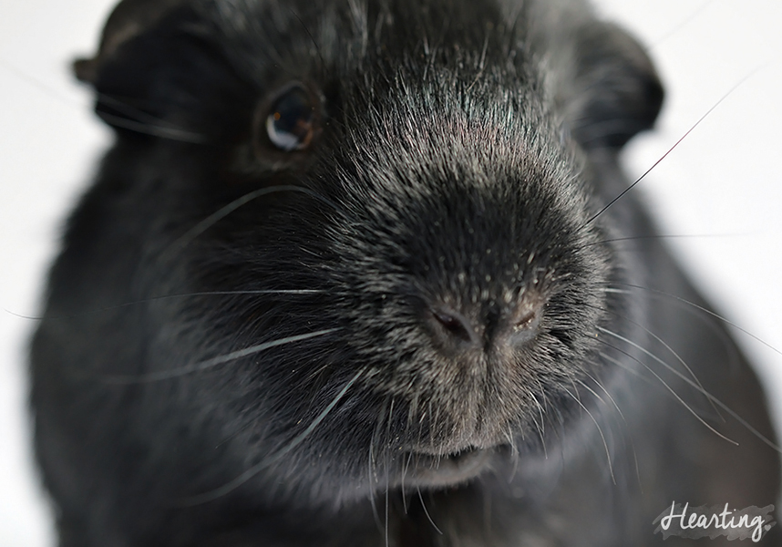 Dear Sooty | A letter to my beloved guinea pig