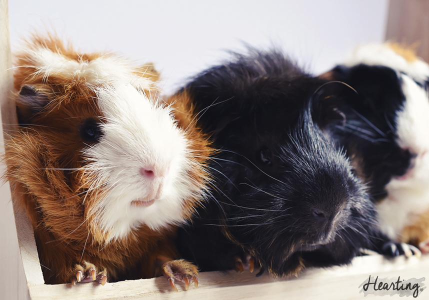 Photo Diary: Three In A Row | my guinea pigs Toffee, Smokey and Whisky