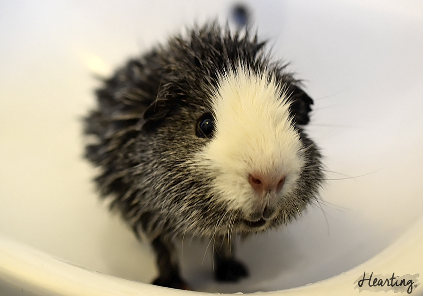 Photo Diary: Piggy Bath Time   Photos of my six guinea pigs after being bathed