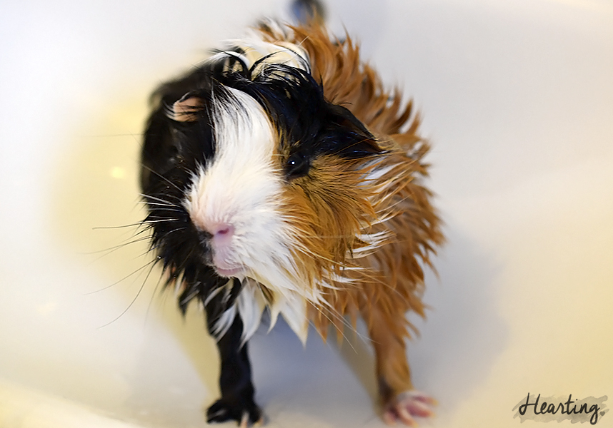 Photo Diary: Piggy Bath Time | Photos of my six guinea pigs after being bathed