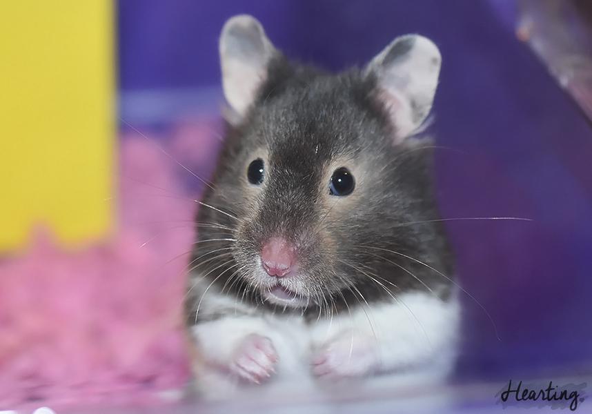 Meet Whisper | Meet our new hamster Whisper