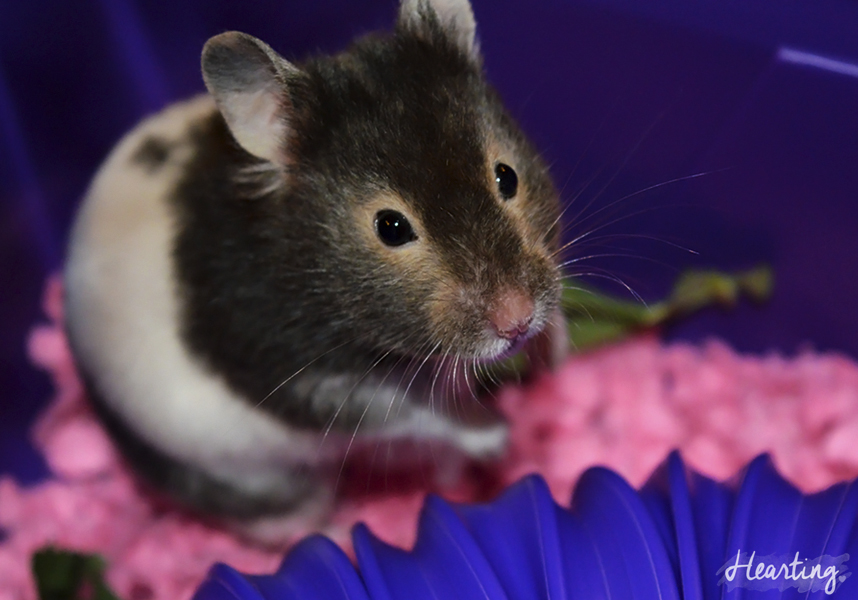 Meet Whisper | Meet our new hamster Whisper