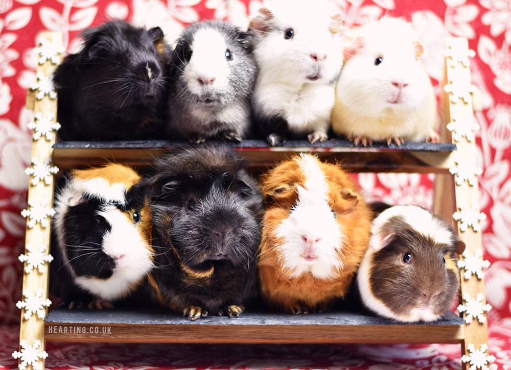 Happy, Merry, Holly, Jolly Season's Greetings | Happy Christmas 2017, photograph of eight guinea pigs Cookie, Dusty, Tufty, Munchie, Whisky, Smokey, Toffee and Crunchie