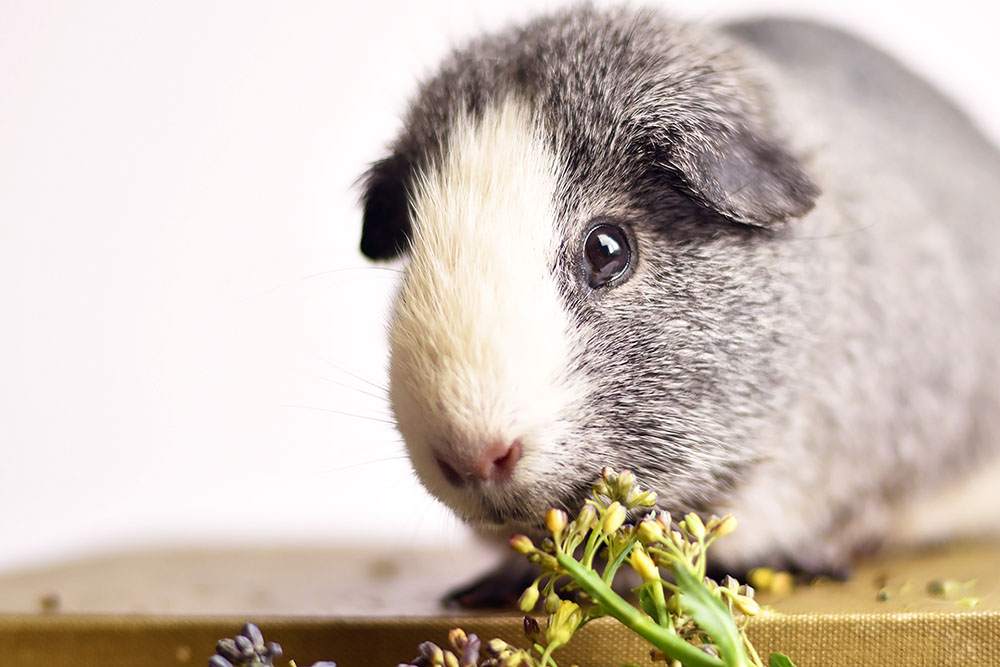 Dear Dusty | A letter to my beloved guinea pig